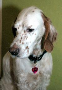Bibo/English Setter orange belton
